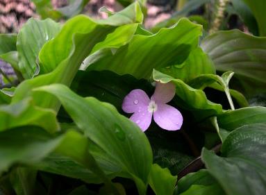 La timide petite fleur du kashur sugandhi.